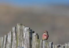 Au peigne fin... (Régis B 31) Tags: cardueliscannabina commonlinnet fringillidés linottemélodieuse passériformes vendée bird oiseau
