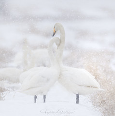 Forever Yours <3 (Jyrki Liikanen) Tags: love commitment forever wildlife wildlifephotography wildnature wildbird whooperswan swans swan cleanwhite snowing spring springsnowfall migratorybird
