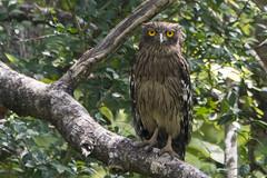 brown fish owl-2 (S. Nysteen) Tags: srilanka brownfishowl anuradhapura northcentralprovince lk brunfiskeugle ketupazeylonensis