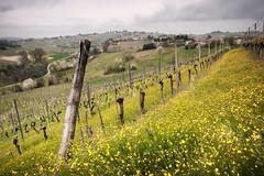 Vigne in primavera (swàllero) Tags: fujixt1 fujixf16mm fujifilm spring langhe monferrato vigne uva winegrape wine grapes filari flowers yellow