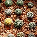 Astrophytum multihybrid