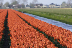 _CWH6122 (Colorblenders) Tags: holland tulipfields