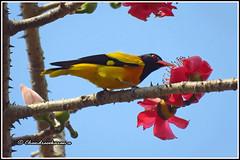 6797 - golden oriole  on bombax ceiba (chandrasekaran a 40 lakhs views Thanks to all) Tags: goldenoriole birds bombaxceiba trees flowers nature india chennai canon powershotsx60hs