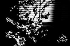 Blown Blossom (Thomas Listl) Tags: thomaslistl blackandwhite biancoenegro noiretblanc contrast light shadow plant nature flower blossom dark stripes 35mm