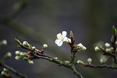 When I grow up, I will be a plum (tomlok) Tags: pflaume plum flower blüte