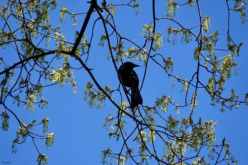 """Starling • <a style=""""font-size:0.8em;"""" href=""""http://www.flickr.com/photos/52364684@N03/33840923520/"""" target=""""_blank"""">View on Flickr</a>"""