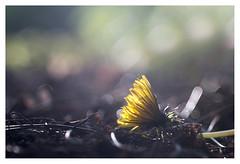 Fallen (leo.roos) Tags: dandelion paardebloem paardenbloem tessar bauschandlombtessaric113mmf45 enlargerlens enlarginglens a7rii day113 dayprime dayprime2017 dyxum challenge prime primes lens lenzen brandpuntsafstand focallength fl darosa leoroos
