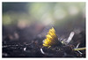 Fallen (leo.roos) Tags: dandelion paardebloem paardenbloem tessar bauschandlombtessaric113mmf45 enlargerlens enlarginglens a7rii day113 dayprime dayprime2017 dyxum challenge prime primes lens lenzen brandpuntsafstand focallength fl darosa leoroos vergroterlens vergrotingslens vergroter enlarger