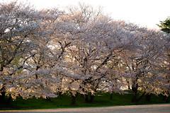 Sakura / Kajo Park 20170424-6 (hatake_s) Tags: sakura cherryblossom flower nature japan yamagata