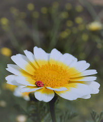 The sun is coming (Hanna Tor) Tags: nature plant flower sun grass insect ladybug hannator color bokeh