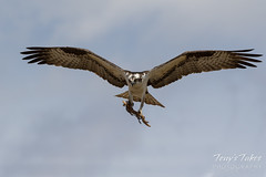 April 8, 2017 - A male Osprey delivers nesting material in Longmont. (Tony's Takes)