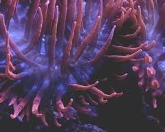 calacademy anemone (L. Grainne) Tags: seaanemone calacademy lupengrainne anemone purple pink sea creature