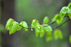 Beech leaves (Harrthil) Tags: buche frühling spring baum bäume wald forest laubbaum blatt bätter april mai buchenblatt buchenblätter