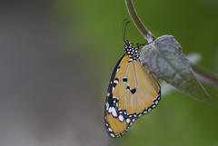 Monarch Butterfly (tsandra996) Tags: monarch butterfly nature wildlife wings vine bug insect