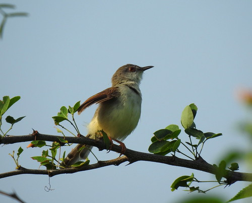 Common Tailerbird Outside Hua Hin - Thailand