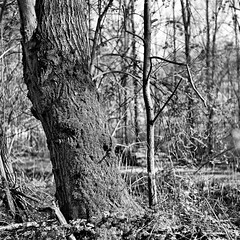 (salparadise666) Tags: mamiya c330 sekor 80mm fuji neopan acros 100 caffenol cl semistand 35min nils volkmer vintage camera medium format 6x6 square nature landscape hannover region niedersachsen germany tree contrast