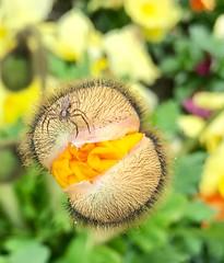 A little spider  on a Californian poppy. (aydanfavre) Tags: bokeh yellow picture photography suisse switzerland vevey blackspider flower californianpoppy littlespider spider