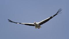 Cicogna (davidesantiano) Tags: cicogna cicogne uccello uccelli volo volatile volatili allaperto apertura ali grande cielo sky immagine racconigi natura nature wildlife wild