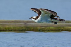 Eye level  (r) (Melanie Leeson) Tags: ospreyinflight ospreyonblue ospreymale raptor wildraptor bird blingsister melanieleesonwildlifephotography canon canon7dmarkii canonef100400mmf4556lisiiusm14xiii vancouverislandbccanada