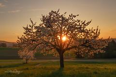 Kirschbaum / Cherry Tree (Claudia Bacher Photography) Tags: kirschbaum cherrytree sonnenuntergang sunset gras grasses blüte blossom schweiz suisse switzerland bülach eschenmosen sonya7r baum tree landschaft landscape natur nature outdoor