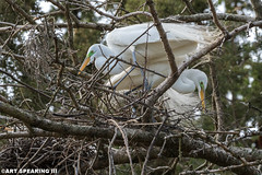 Nesting Great Egrets At Kiwanis Lake Rookery (freshairphoto) Tags: rookery york pennsylvania kiwanis lake great egrets birds wading nest sticks tree feathers artspearing nikon d500 200500 zoom tripod