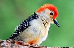red-bellied woodpecker male at Lake Meyer Park IA 854A7729 (lreis_naturalist) Tags: redbellied woodpecker male lake meyer park winneshiek county iowa larry reis