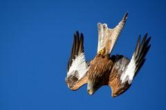 Red Kite 180417 (trevorcridlan) Tags: bird birdsofprey countryside d5200 flight kite nikon nature outdoor oxfordshire prey redkites tamron16300 wildlife wildbirds