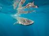 Whale shark VI (altsaint) Tags: 714mm gf1 islamujeres mexico panasonic whaleshark shark underwater