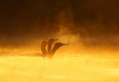 The Smokers (T@hir'S Photography) Tags: nature misty morning outdoor travel great cormorant nikkor wildlife hunting sunrise feather lake golden hour fishing wildbird smoke fog mist pakistan sialkot headmarala birdsofpakistan