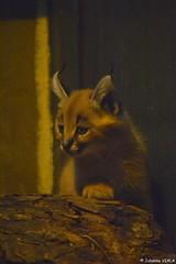 Bébé caracal (Johanna Viala) Tags: caracal