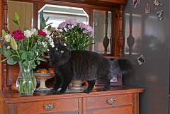 - Lovely flowers! I like it... (Caulker) Tags: vaska cat bouquet flowers kitchensideboard