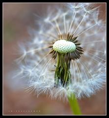 Blown Away (J Michael Hamon) Tags: flower seed dandelion weed plant organic flora garden outdoor nature closeup macro hamon nikon d3200 nikkor 40mm photoborder flickrelite