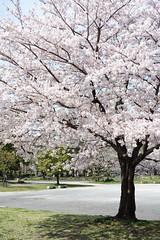 park (peaceful-jp-scenery (busy)) Tags: sakura cherryblossoms someiyoshino spring flower shizuoka sunpujoupark 駿府公園 桜 ソメイヨシノ 春 葵区 静岡市 日本 sony cybershot dscrx100 carlzeiss 28100mmf1849 20mp