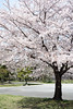 park (peaceful-jp-scenery (busy)) Tags: sakura cherryblossoms someiyoshino spring flower shizuoka sunpujoupark 駿府公園 桜 ソメイヨシノ 春 葵区 静岡市 日本 sony cybershot dscrx100 carlzeiss 28100mmf1849 20mp
