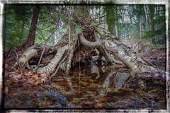 Perched Birch (downstreamer) Tags: jefflamontpreserve leelanau birchf conservancy roots swamp trees northport michigan unitedstates