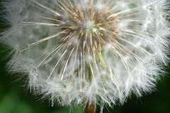 Dandelion (jan.ashdown) Tags: dandelionhead clock seeds macro closeup dandelion