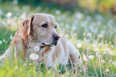 Spock In the field of dandelions (Inka56) Tags: dog dandelions field outdoor jupiter21m oldlens bokeh manualfocus 7dwf fauna labrador