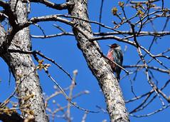 DSC_7283 Lewis Woodpecker (futzr.fotoz) Tags: lewis woodpecker blue sky oak tree fort simcoe park yakima county washington state