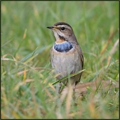 Bluethroat (image 2 of 3) (Full Moon Images) Tags: willow tree wildlife trust nature reserve bird bluethroat