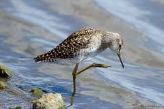 Wood Sandpiper (leendert3) Tags: woodsandpiper ngc sunrays5 leonmolenaar nature wildlife krugernationalpark southafrica bird