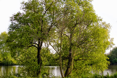 Natur am Fluss - Nature at the River (Jutta M. Jenning) Tags: baum blaetter blatt baeume landschaft natur see wasser nature tree trees water fluss fluesse river green gruen fruehling spring springtime leaf main landscape