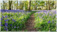 Bluebell time at Bunny Hill (jeannie debs) Tags: bluebells flowers wildflowers woodland blue wild nature outdoors earth bunny hill 7dwf