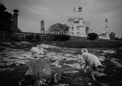 From bank of yamuna. (vjisin) Tags: tajmahal wonder agra india architecture shahjahan mumtaj asia whitemarble marble mughal wonderofworld outdoor blackandwhite monochrome indianheritage nikond3200 nikon nikonofficial dog incredibleindia indianstreetphotography streetphotography street