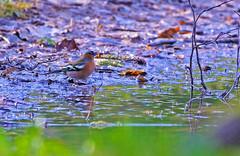 Fringuello (Mont di Prat) (IvanFas) Tags: animali uccelli birds finch fringuello