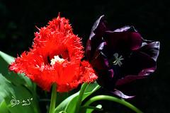 Passione & Amore...Insieme! (Biagio ( Ricordi )) Tags: passione amore love fiori flower tulipani italy