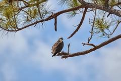 Apr 26 201746608 (Lake Worth) Tags: animal animals bird birds birdwatcher everglades southflorida feathers florida nature outdoor outdoors waterbirds wetlands wildlife wings canoneos1dxmarkii canonef500mmf4lisiiusm