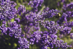 Buzz Buzz (StrangeCharmDesign) Tags: bumblebee bee garden rosegarden woodlandparkrosegarden seattle pacificnorthwest lavender flower purple plant pollen summer nature wing winged flying insect pollination