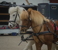 Two Icelandic horses (frankmh) Tags: animal horse icelandichorse carriagedriving competitionkrapperup skåne sweden outdoor