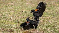 Red Winged Blackbird (pasquadaniel) Tags: birds animals wings feathers beaks fighting flight