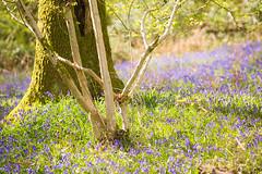 24th April 2017 (Rob Sutherland) Tags: crake valley spark bridge lowick lakedistrict nationalpark cumbria england uk bluebell bluebells wood woodland